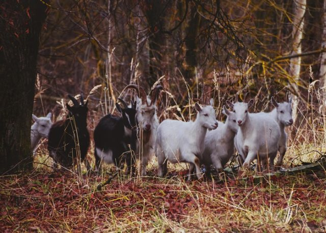 herd of goats