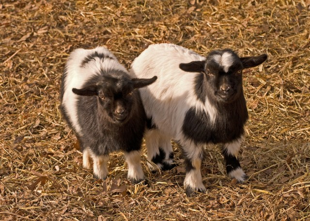 tennessee goat