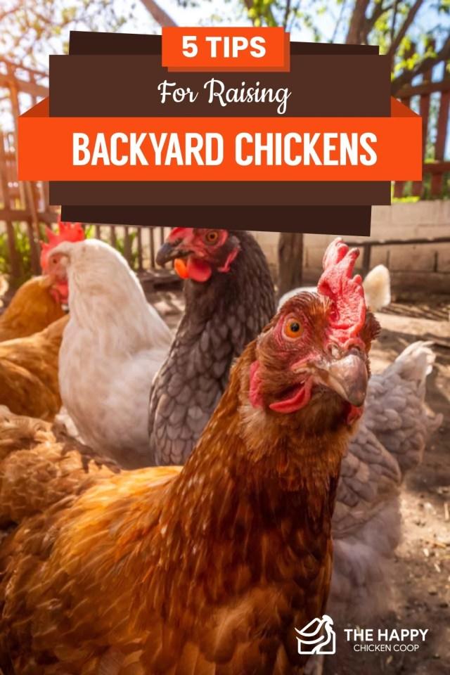 5 Tips For Raising Backyard Chickens