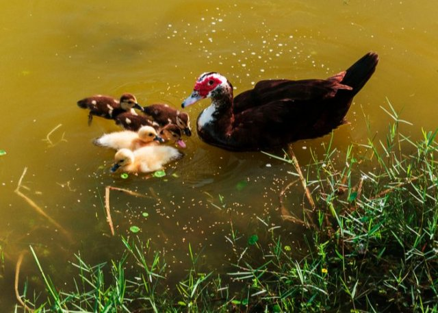 muscovy duck in water with ducklings