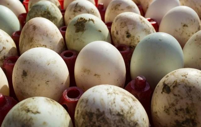 duck eggs in tray