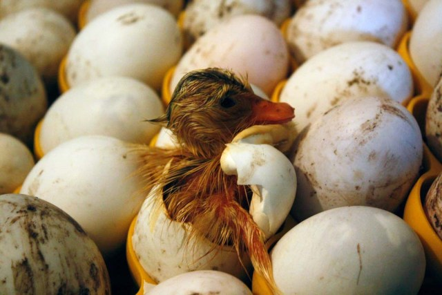 duckling hatching in incubator