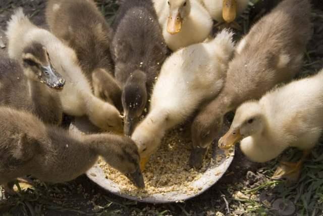 ducklings eating feed