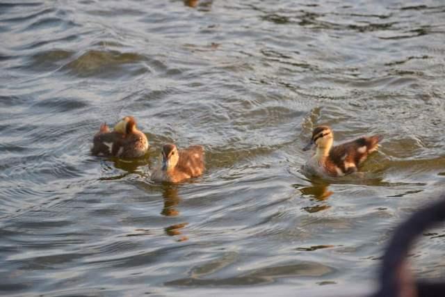 flockette of ducklings