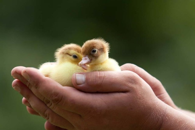 hand holding ducklings