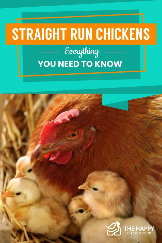 Straight Run Chickens, Everything You Need to Know