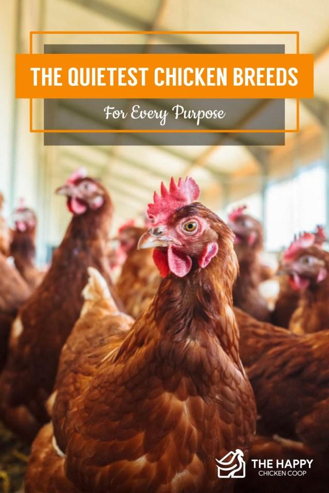 Les races de poulets les plus silencieuses pour tous les usages