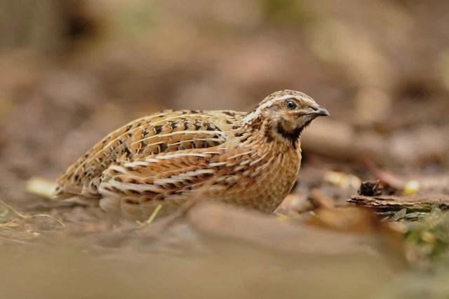 coturnix quail