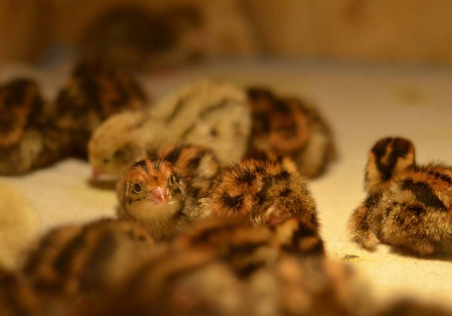 quail hatchery