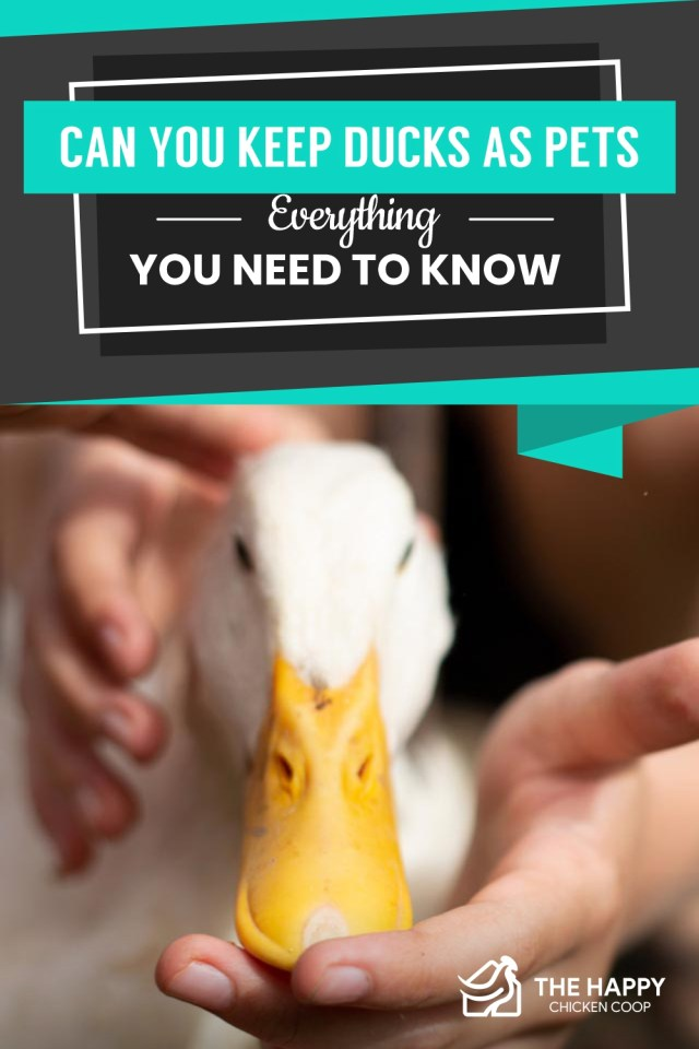 Ducks As Pets