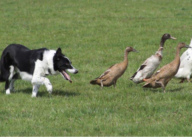 indian runner ducks herded by dog