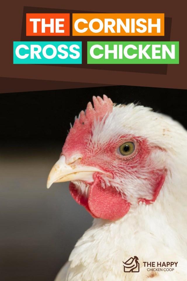 The Cornish Cross Chicken