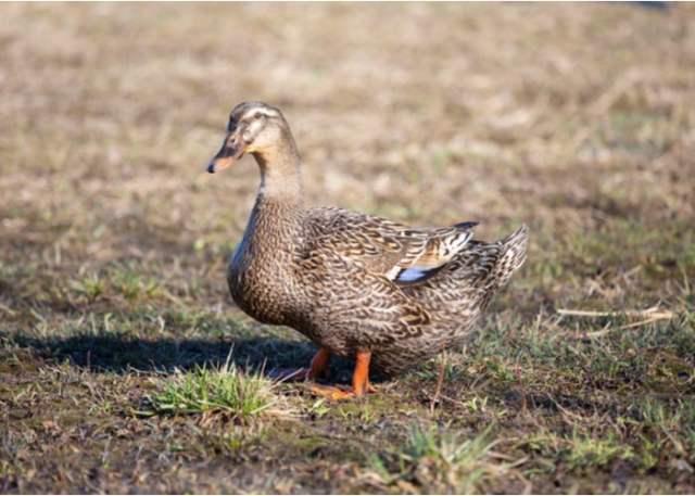 Biggest duck breed Rouen