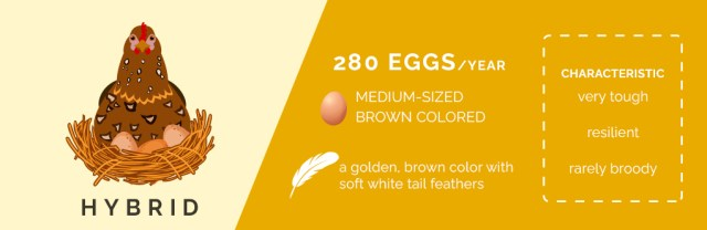 hybrid chickens,chicken breeds that lay lots of eggs