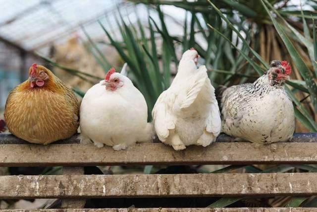 Beginner Chicken Breeds