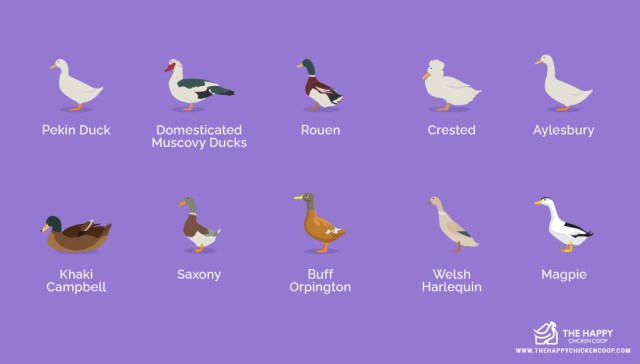 Domesticated Duck Breeds