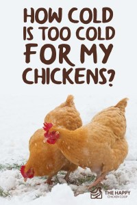 How Cold Is Too Cold For My Chickens-