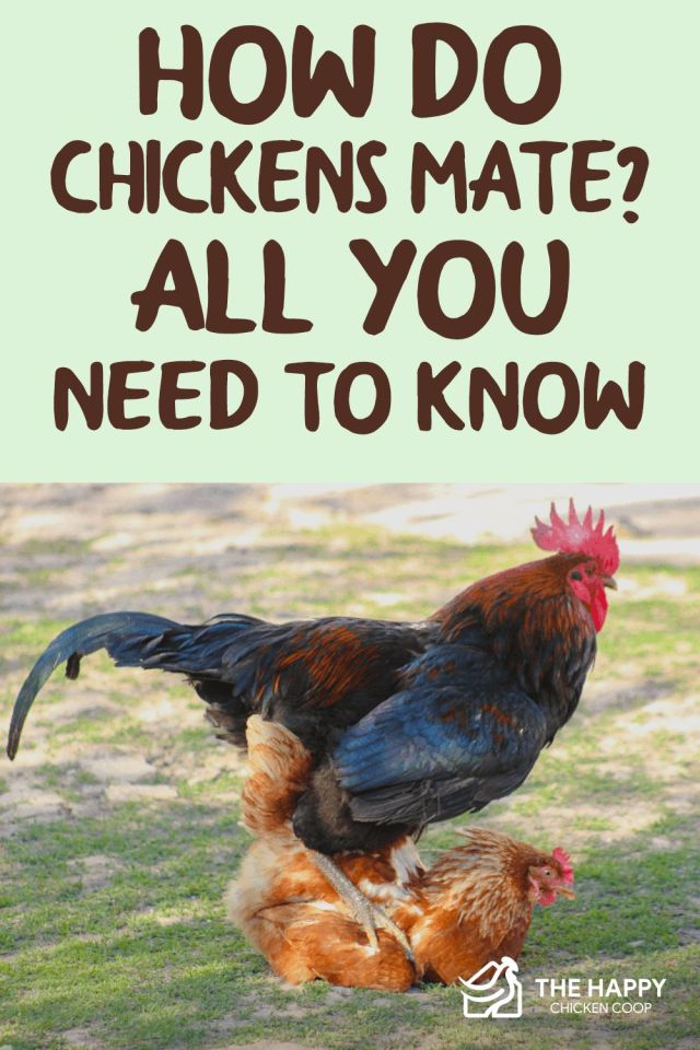 Chickens Mate