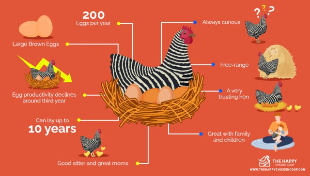 Le poulet Plymouth Rock