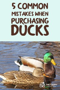 5 Common Mistakes When Purchasing Ducks