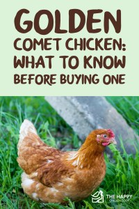 Poulet Golden Comet - Ce qu'il faut savoir avant d'en acheter un