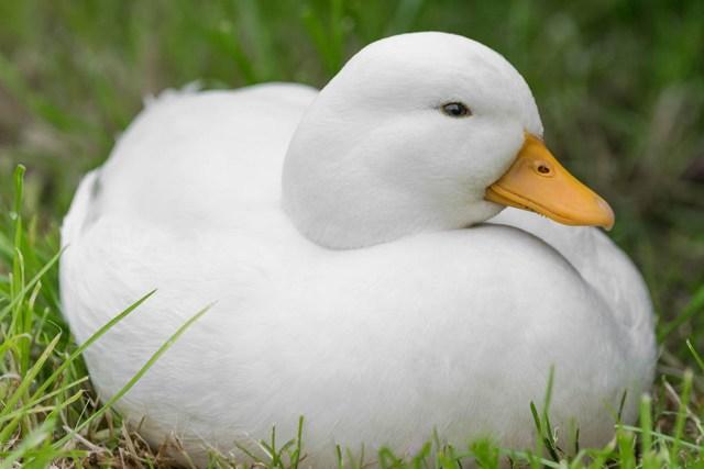 call duck breed