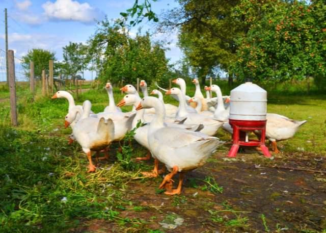 duck farm business