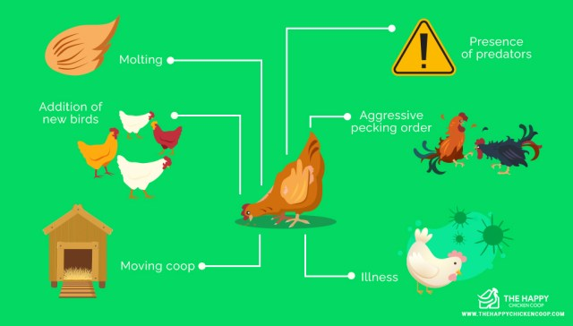 Chicken Feather Loss Cause and Cure