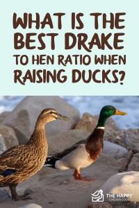 Drake to Hen Ratio