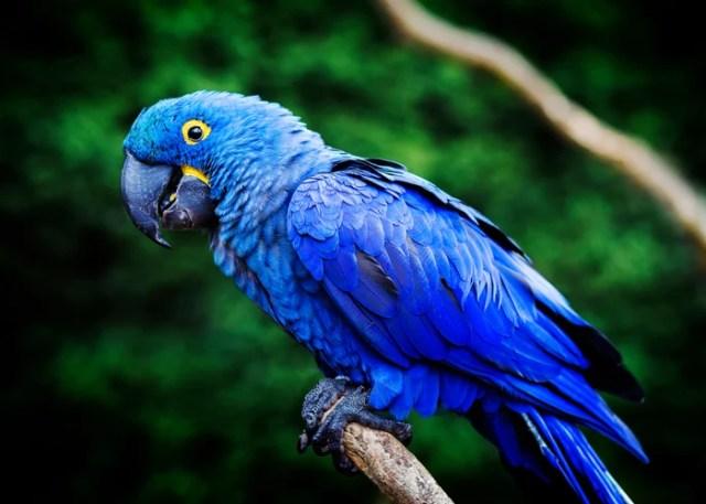 Hyacinth Macaw companion birds