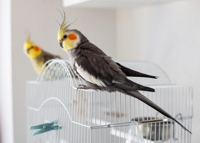 Cockatiels pet bird