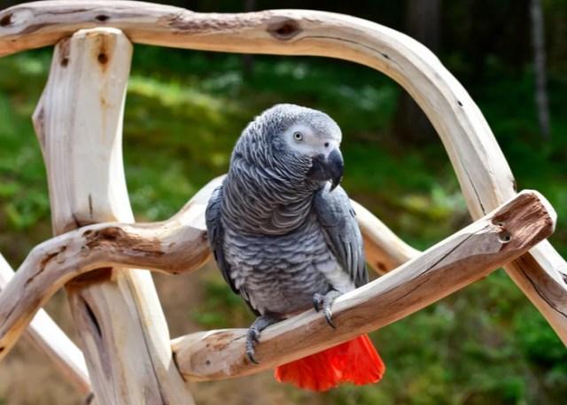 African Gray Parrot Companion Birds
