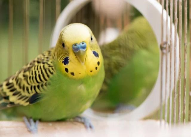 Budgies low-maintenance birds