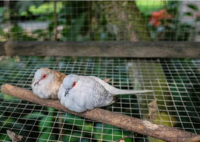 low-maintenance birds dove