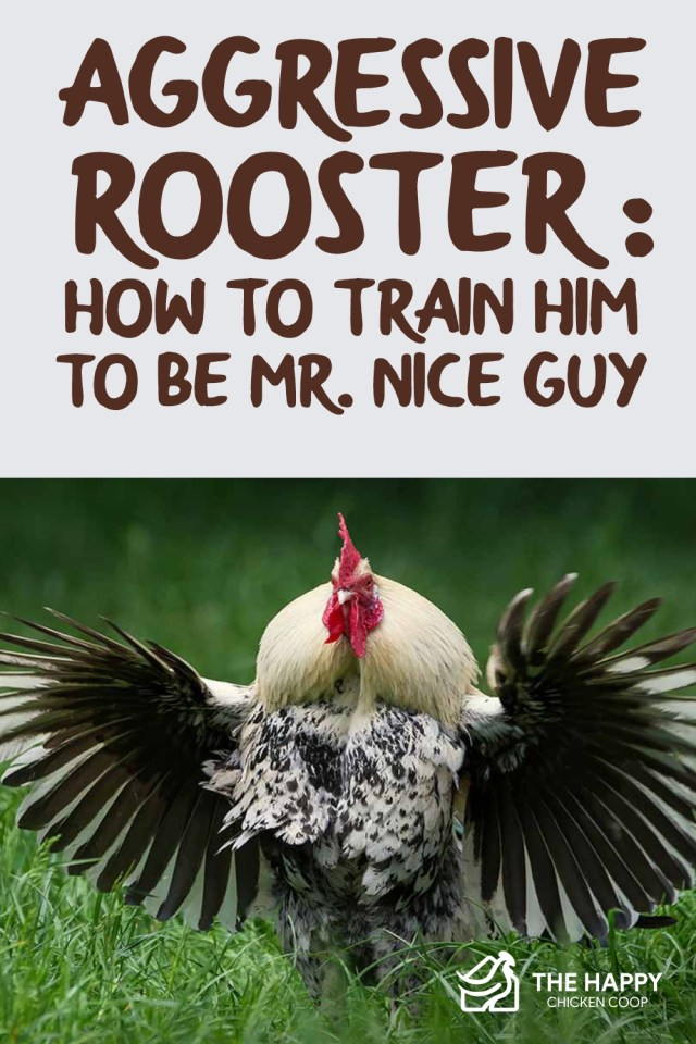 Aggressive Rooster How to Train Him to be Mr. Nice Guy