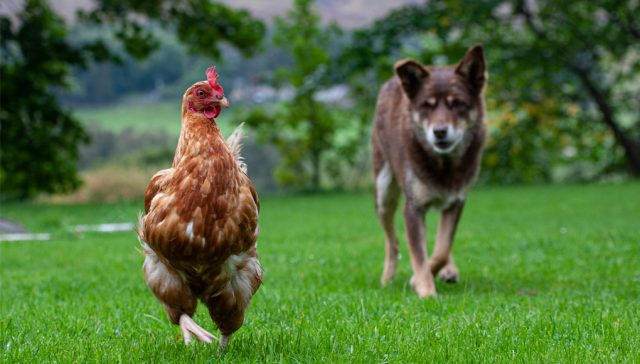 Introducing-dogs-to-your-chicken
