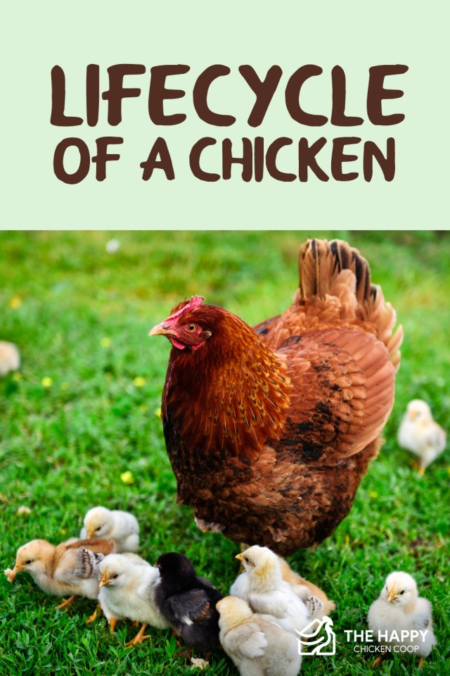 Lifecycle of a Chicken