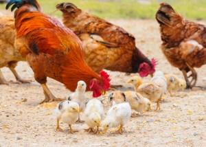 nourrir la viande de poulet