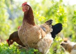 Summer Chicken Care