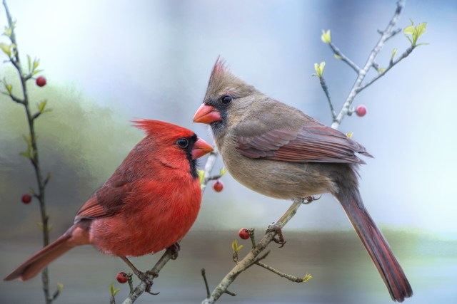 cardinals in the spring