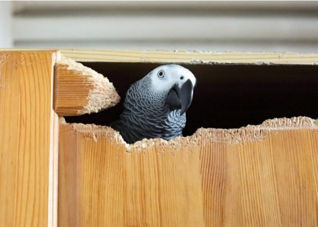 Bird's destructive tendency beginner bird owners should know about