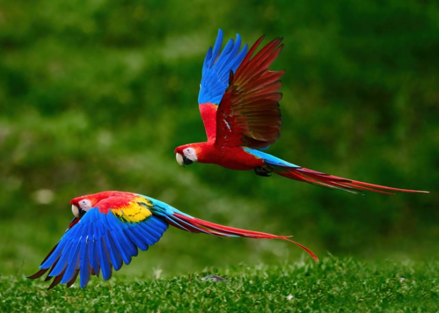 Flying Macaws with Long Lifespan