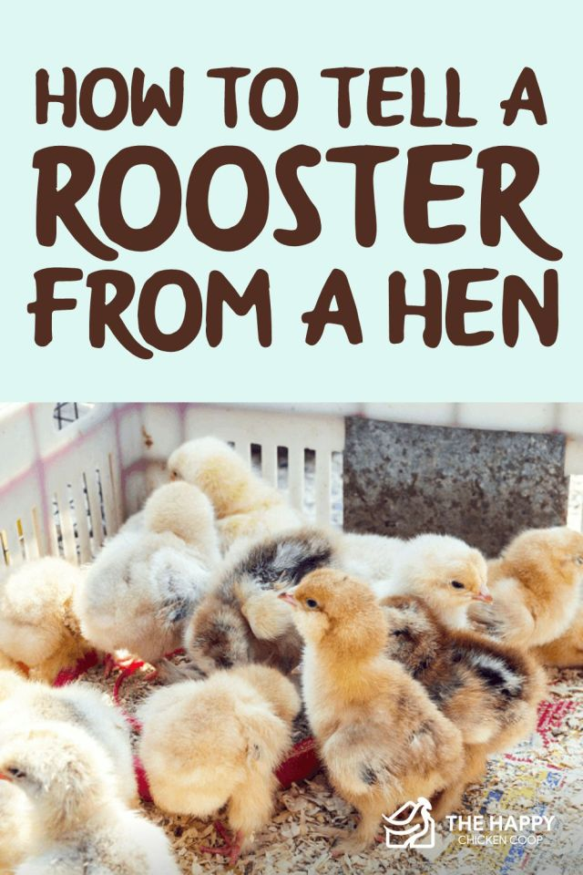 A Rooster From A Hen