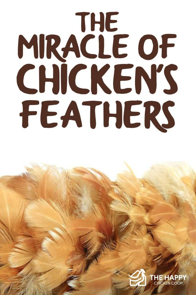 Chickens Feathers