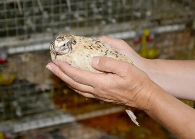 taking care of quails