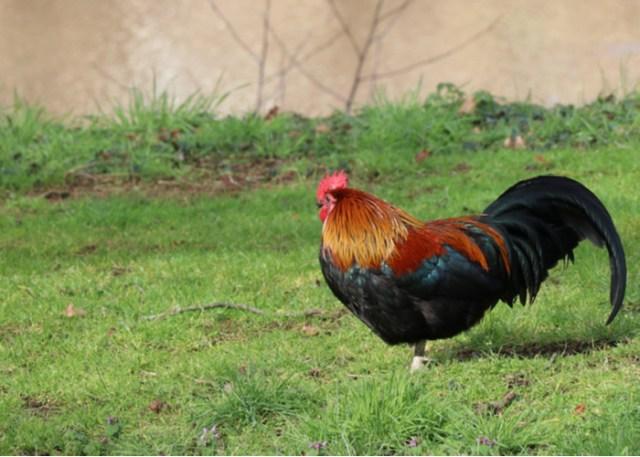 Breda chicken breed