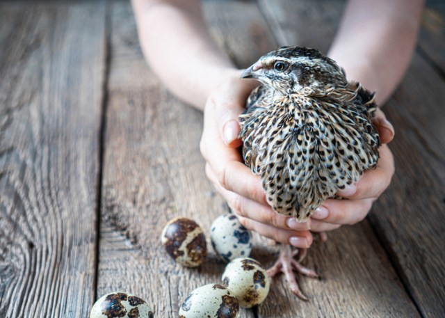 quail's nutritional requirements