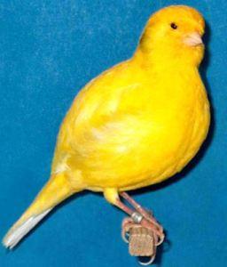 border fancy canary