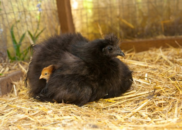 Egg Laying & Disposition of Black Silkie Chicken Breed