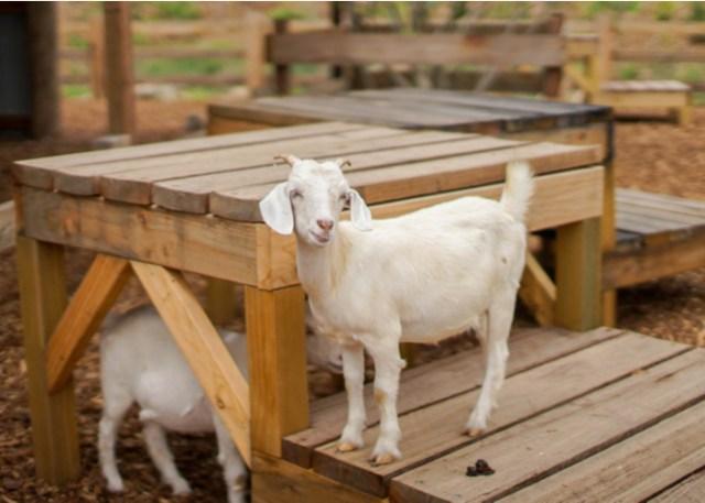 Goat's climbing station